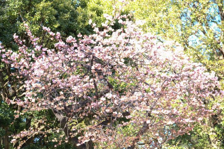上野公園寒桜1