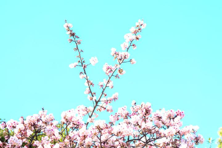 上野公園寒桜3