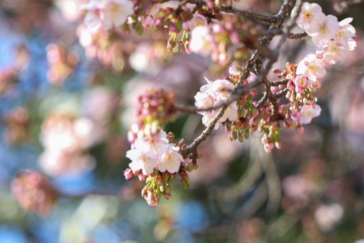 上野公園寒桜4