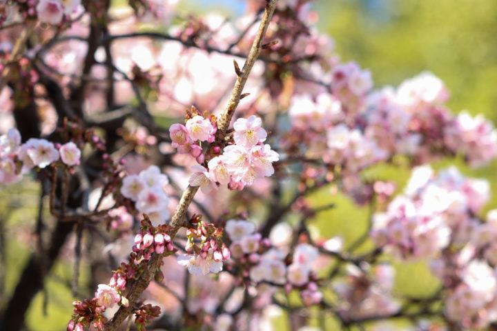 上野公園寒桜2