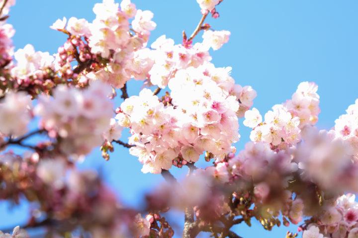 上野公園寒桜5