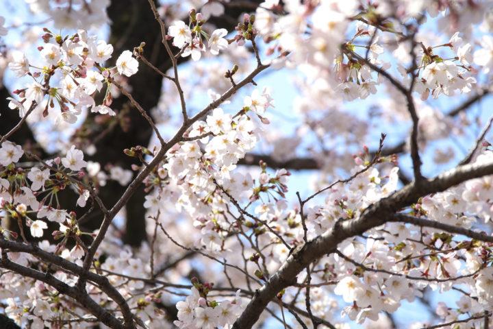 上野公園_20200326_05