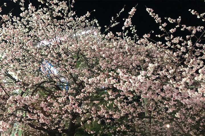 大寒桜2020_02