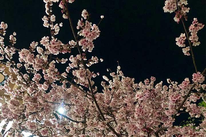大寒桜2020_03