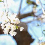 上野公園噴水広場スタバ横に咲いている「枝垂桜」(2020/03/20)