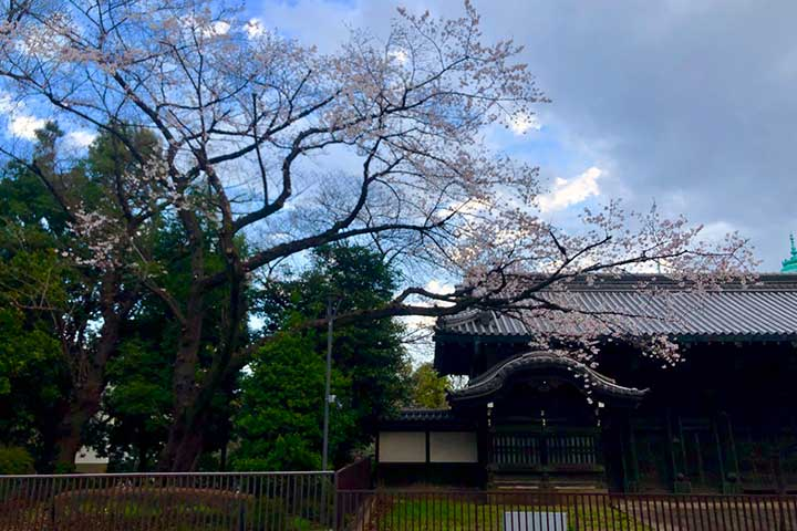 早朝の旧因州池田屋敷表門(黒門)と桜(2020/3/21)
