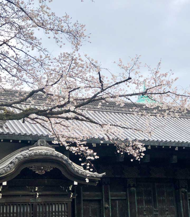 早朝の旧因州池田屋敷表門(黒門)と桜(2020/3/21)2