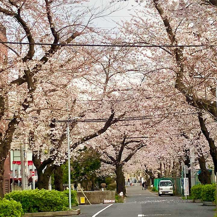 谷中霊園の桜のアーチ