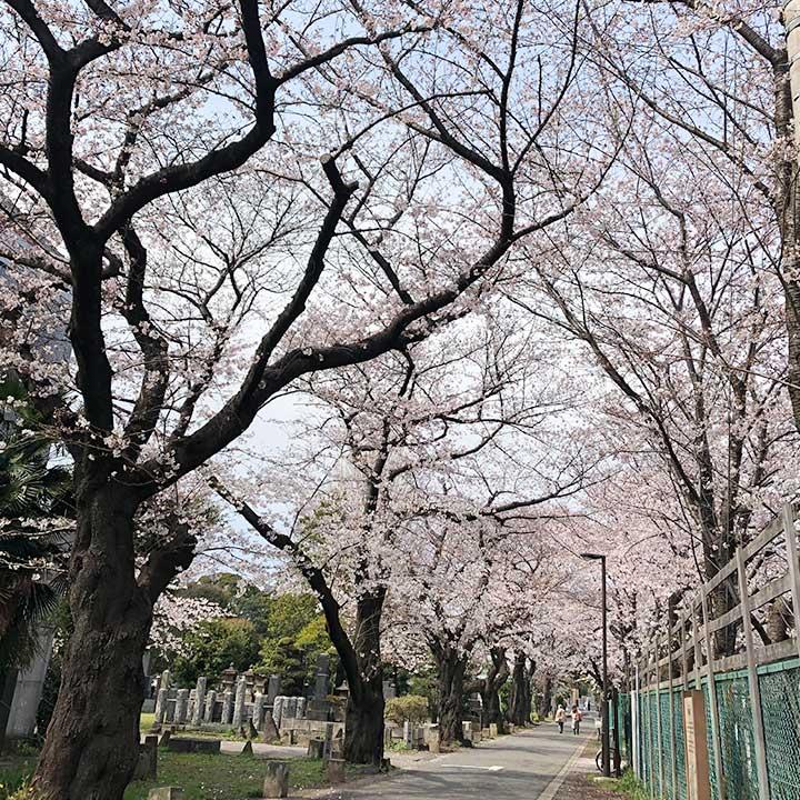 谷中霊園の桜ほぼ満開!「桜のアーチ」2