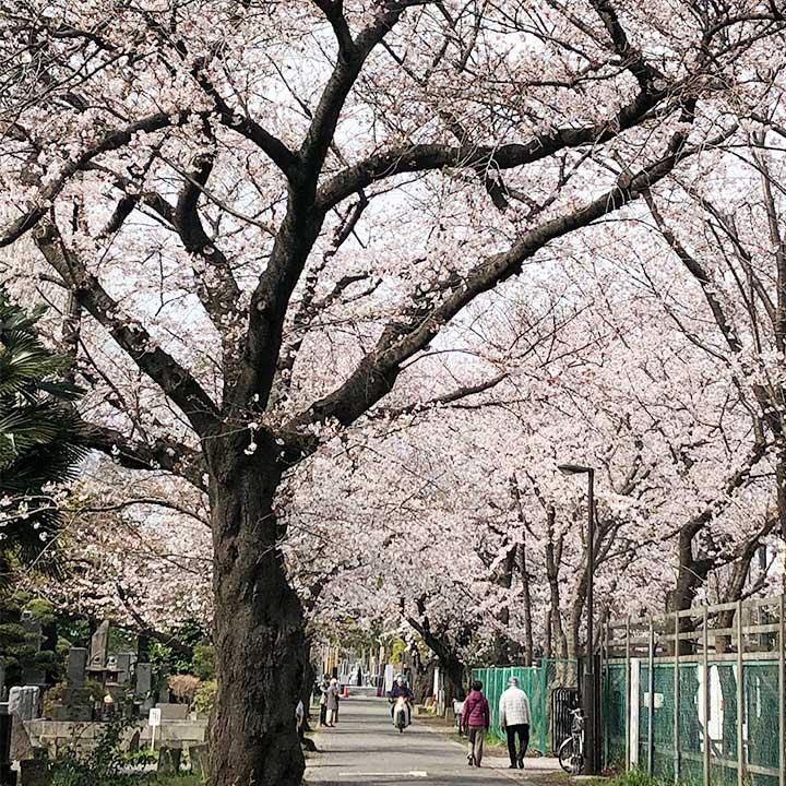 谷中霊園の桜ほぼ満開!「桜のアーチ」1