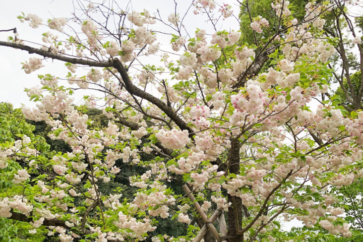 上野公園桜_20200417_03