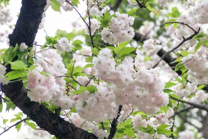 上野公園桜_20200417_01