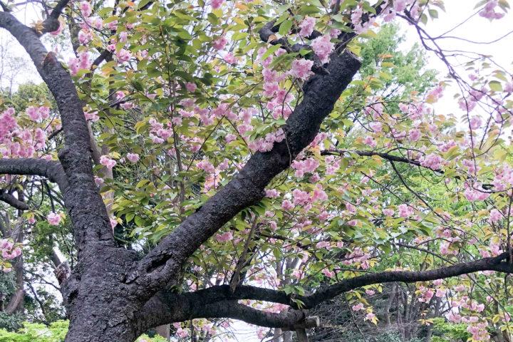 上野公園桜_20200417_04
