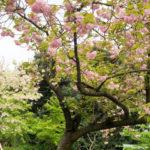 上野公園桜はまだ見られます「カンザン」と「イチヨウ」