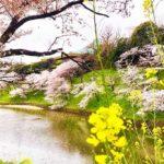 千鳥ヶ淵は菜の花と桜が見れる絶景スポット!