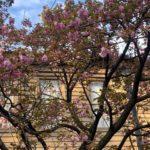 これから満開迎える上野公園内 旧奏楽堂の八重桜