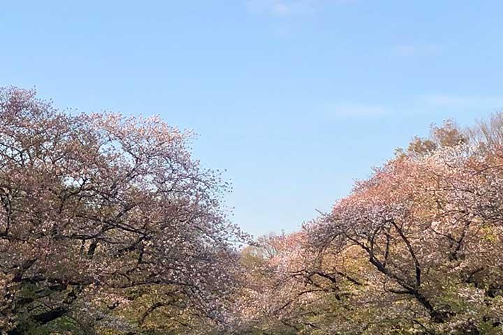 上野公園八重桜_20200408_04