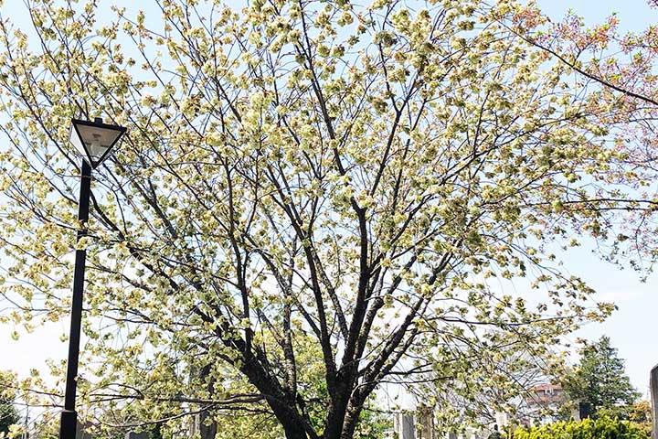 谷中霊園鬱金桜