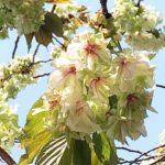 黄色い桜も満開に!谷中の鬱金桜ウコンザクラ(2020年4月8日)