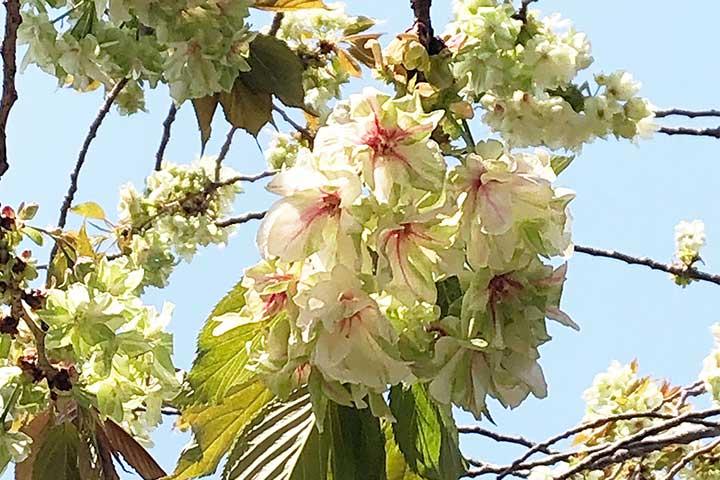 谷中霊園鬱金桜1
