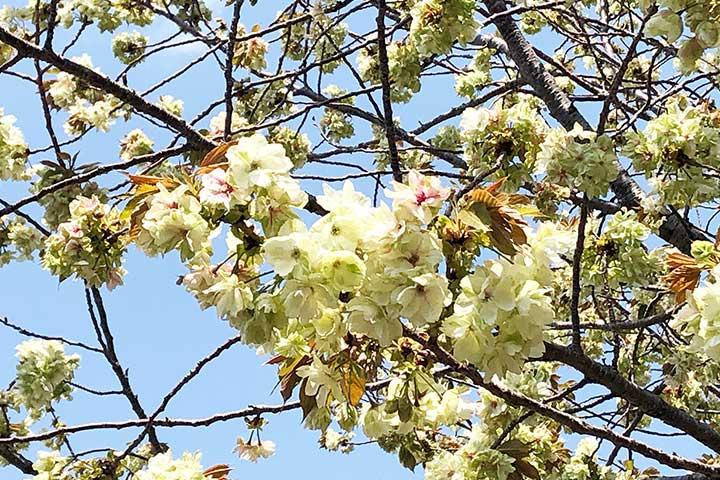 谷中霊園鬱金桜2