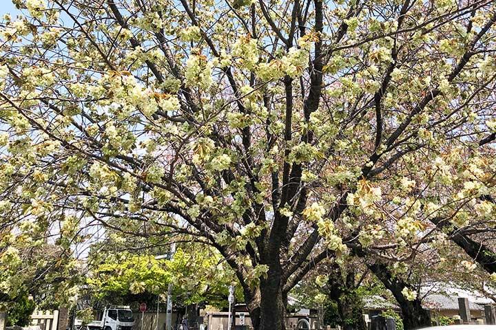 谷中霊園鬱金桜3