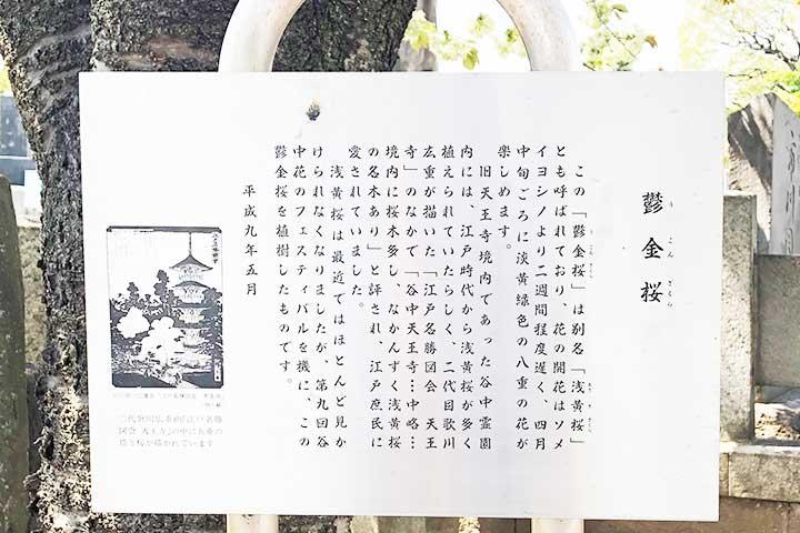谷中霊園鬱金桜4