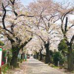 言問通りから入る谷中霊園の桜並木