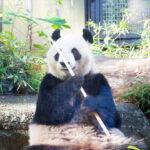 上野動物園 ジャイアントパンダ情報2 「シャンシャン」お姉さんになるかも?