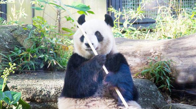 上野動物園 ジャイアントパンダ情報01